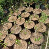 bahan bonsai anput