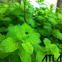 Benih Mint Bibit Biji Daun Pepermint Fresh Tanaman Herbal Herb Refill