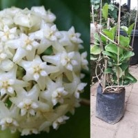 tanaman hias hoya bunga putih