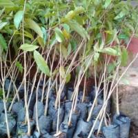 Jual Tanaman Bibit Pohon Gaharu Super Bibit / Biji / Benih Dm&