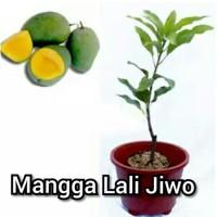 Bibit Hidup Buah Mangga Lali Jiwo Manalagi I3N
