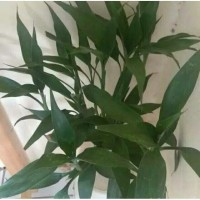 tanaman hias srirejeki/tanaman srirezeki bambu hoki