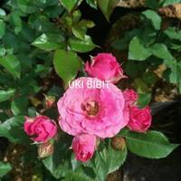 ( 10 Butir ) Benih Bunga Mawar Jumbo