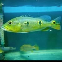 Ikan Hias Peacock Bass Pbass Orinoco Large Aquarium Aquascape Garansi