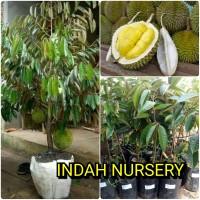 bibit buah durian musangking super(bisa berbuah dalam pot)musang king