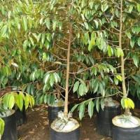 bibit buah durian montong jumbo tinggi pohon 2 meter bibit super