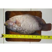 Jual Ikan Gurame Di Jakarta Pusat Harga Terbaru 2021