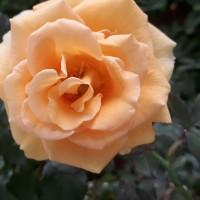 tanaman hias bunga mawar