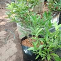 tanaman buah jeruk Citrus nagami