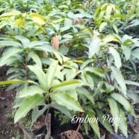 Bibit Pohon Buah Mangga Yuwen Seri 6 Spg