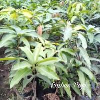 Bibit Pohon Buah Mangga Yuwen Seri 6 Terb@Ru