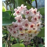 Tanaman Hias Rambat Hoya Putih wangi