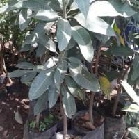 bibit mangga kelapa dengan buah super besar | jual bibit mangga kelapa