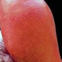 bibit mangga yuwen unggul dengan ukuran buah super jumbo | WBP
