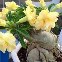 bibit tanaman adenium bunga kuning bonggol besar kamboja jepang bonsai