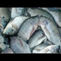 ikan mujair segar 500gr