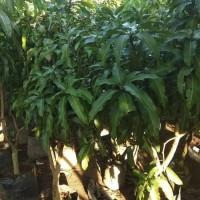 Pohon Mangga Harum Manis Tinggi 1.6 Meter Siap Buah