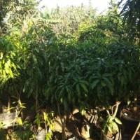 Pohon Mangga Manalagi Tinggi 1.60 meter Siap Buah