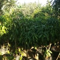 Pohon Mangga Chokanan Tinggi 1.6 Meter Siap Buah