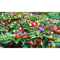 Benih /Bibit Bolivian Rainbow Pepper Cabe warna warni isi 10 Biji