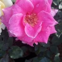 tanaman hias bunga mawar pink - pohon mawar