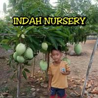 bibit buah mangga harumanis bangkok (arumanis) super