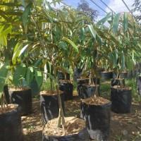bibit durian montong kaki 3 tinggi 1 meter up