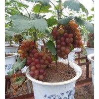 biji benih Bonsai Buah Anggur red globe /10 biji