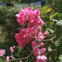 Bibit air mata pengantin bunga pink