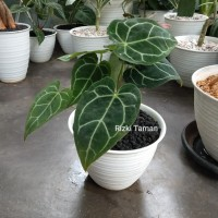 Anthurium Kuping Gajah mini | Tanaman Indoor