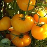 50 Biji Benih / Seeds Tomato Sunray Tomat Orange Cocok Daerah Panas