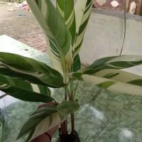 pohon hias heliconia Varigata asli/heliconia varigata/pisang pisangan
