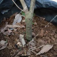 Bibit Pohon Rambutan Rapiah - Tanaman Buah Ropiah Genjah Manis