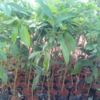 tanaman buah alpukat mentega