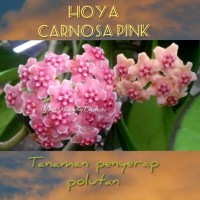 Hoya carnosa hoya pink tanaman penyerap polutan