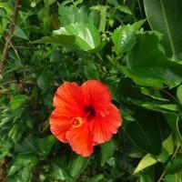 tanaman hias kembang sepatu bunga merah