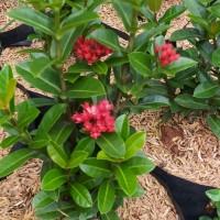 5 tanaman hias hidup tanaman pagar bunga Asoka India