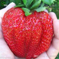 BIBIT / BENIH / BIJI BUAH STRAWBERRY GIANT FRUIT STROBERI BESAR JUMBO