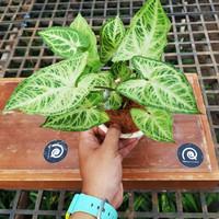 Syngonium sp (singonium batik) / Tanaman hias murah / indoor plant