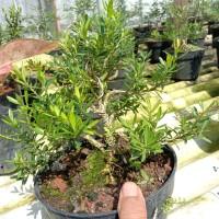 bonsai mame boxus
