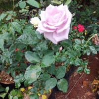 Jual tanaman hias bunga mawar - bibit bunga mawar - Tanaman