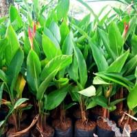 tanaman hias untuk taman pisang/heliconia pisang pisangan