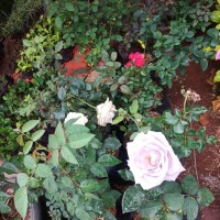 Jual tanaman hias bunga mawar - bibit bunga mawar - Tanaman hias hidup