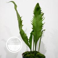 Microsorum Punctatum - Dragon Snap/Wing