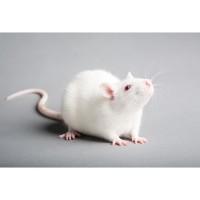 Makanan Reptil Baby Tiput Rat 1pcs