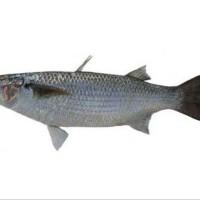 ikan belanak / blanak per 500gram