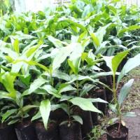 tanaman mengkudu