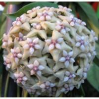 Tanaman Bunga Anggrek Hoya coriacea jawa