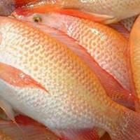 ikan nila merah segar 1kg
