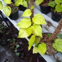 pohon sirih gading kuning asli obat asli